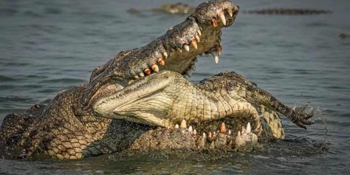 Cannibalismo tra coccodrilli