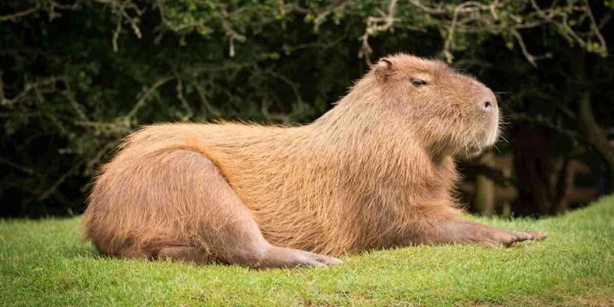 Il Carpincho Capibara invade il Nordelta